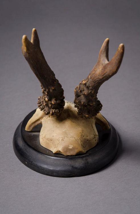 Picture of Antlers Ankershagen