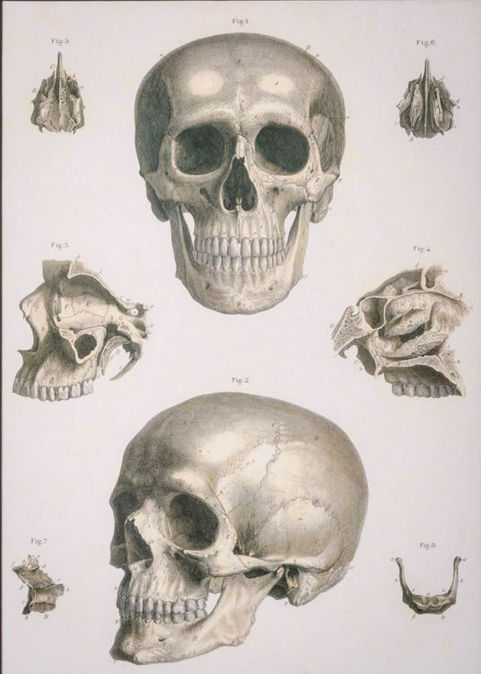 Picture of Anatomical Skull