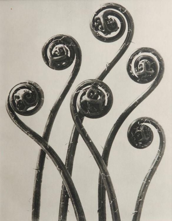 Picture of Adlantum Pedatum, Maidenhair Fern