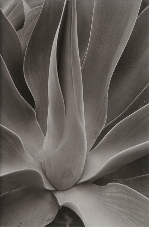 Picture of Agave